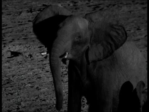 Lion pride hunts elephants at night, Botswana