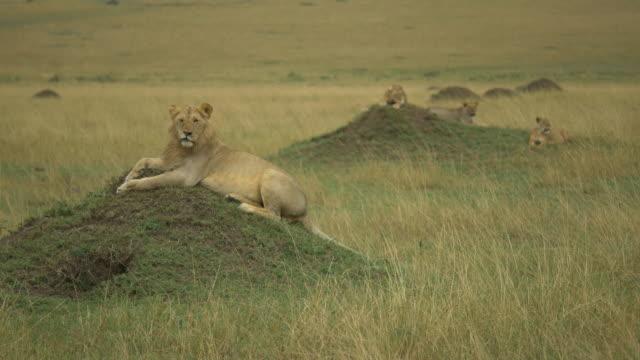 Lion Pride in the Masai Mara, Kenya
