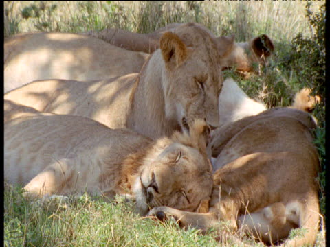 lion pride lie asleep in shade, one licks its lips and twitches ears, masai mara - squiggle stock videos & royalty-free footage
