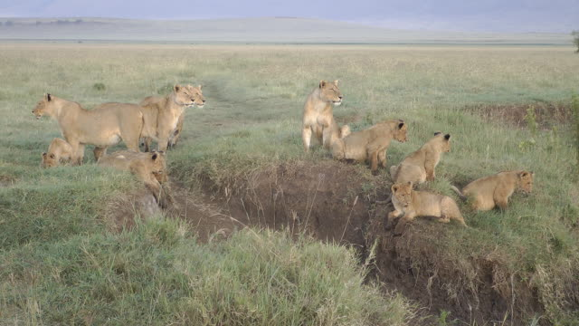 lion pride - group of animals stock videos & royalty-free footage