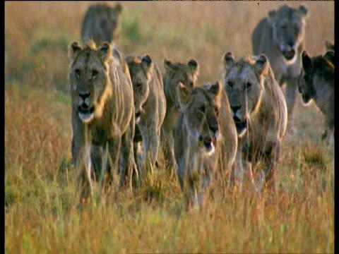 Lion pride walking through grass towards camera