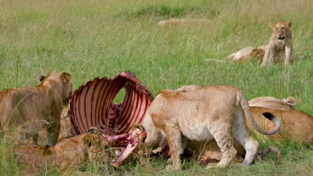 lion pride with buffalo kill, maasai mara, kenya, africa - brustkorb menschlicher knochen stock-videos und b-roll-filmmaterial
