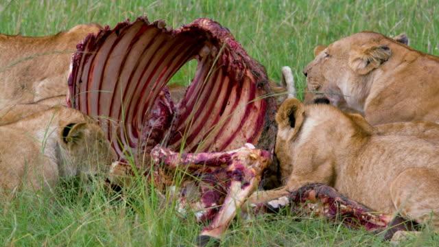 vídeos de stock, filmes e b-roll de lion pride with buffalo kill, maasai mara, kenya, africa - gato não domesticado