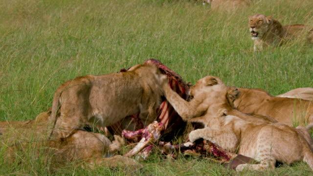vídeos de stock, filmes e b-roll de lion pride with buffalo kill, maasai mara, kenya, africa - filhote de animal