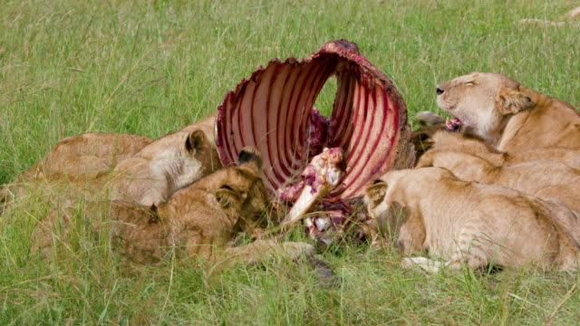 lion pride with buffalo kill, maasai mara, kenya, africa - アフリカンバッファロー点の映像素材/bロール