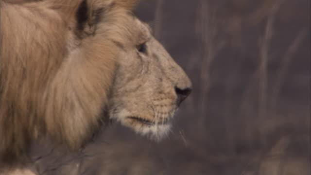 vídeos y material grabado en eventos de stock de a lion prowls across the savanna. available in hd. - animales acechando