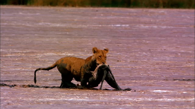 vídeos y material grabado en eventos de stock de a lion pursues a gazelle through thick mud; a lion carries a gazelle carcass through mud. - felino grande