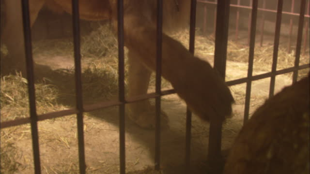 a lion reaches through the bars of its cage. - circus stock videos & royalty-free footage