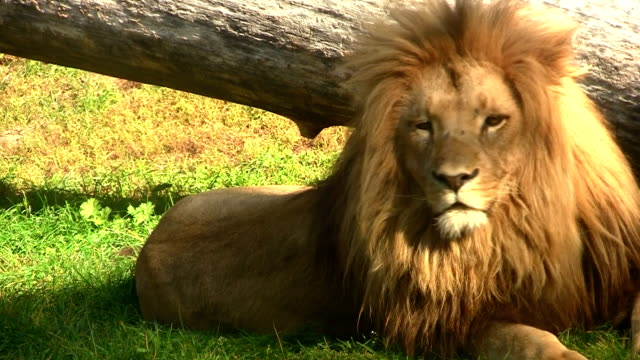 lion relaxing in the grass - lion stock videos & royalty-free footage