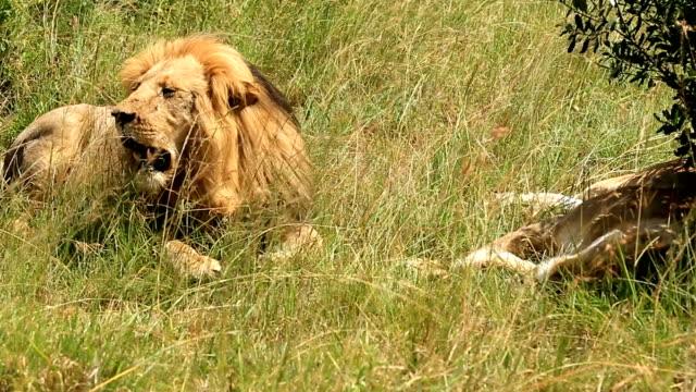 Lion resting after eating