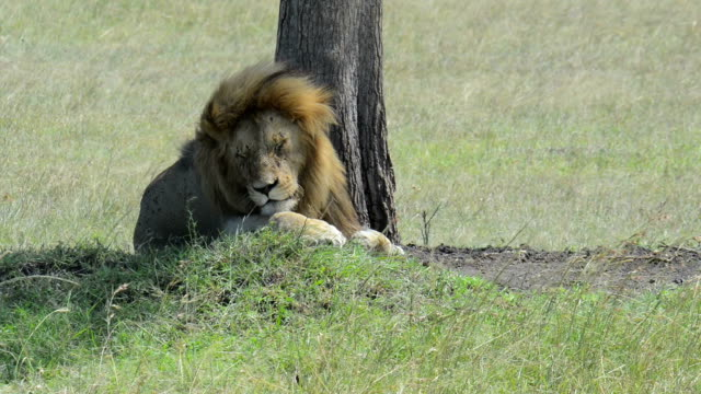 Lion Resting in the Shade