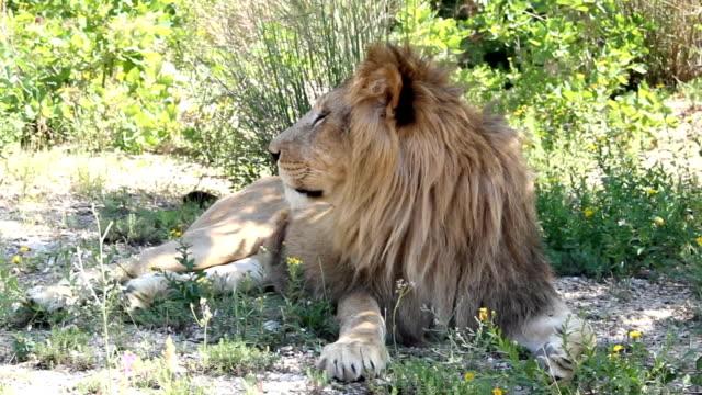 ライオンの生息地で休息 - 地形点の映像素材/bロール