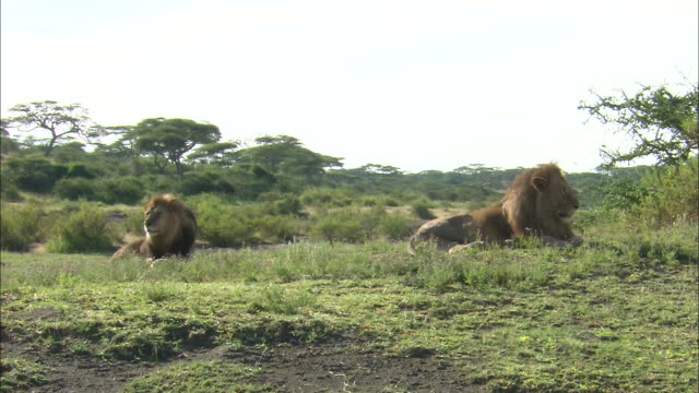 lion resting on the grass in serengeti national park, tanzania - male animal stock videos & royalty-free footage