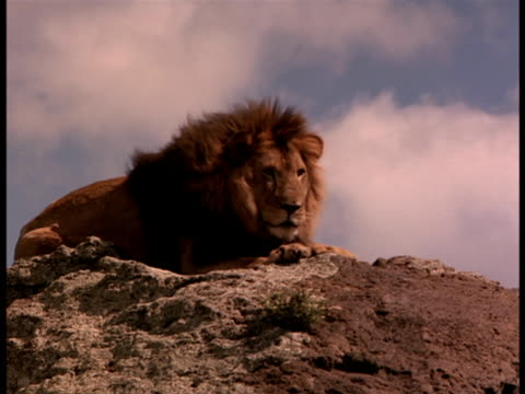 A lion rests atop a cliff.