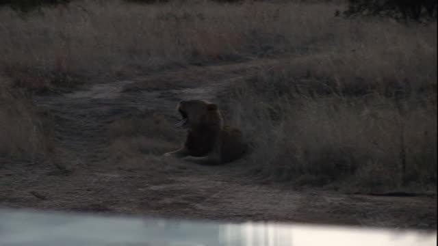 A lion rests near a predator shield containing two cameramen.