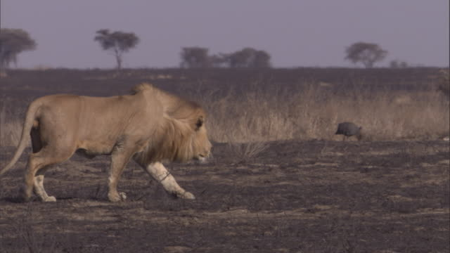 vídeos y material grabado en eventos de stock de a lion roams the burnt plains of the serengeti. available in hd. - animales acechando