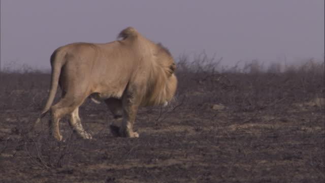 vídeos de stock e filmes b-roll de a lion roams the burnt plains of the serengeti. available in hd. - leão