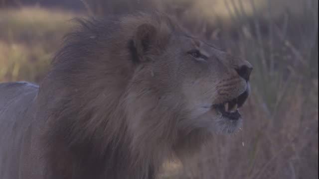 vídeos de stock e filmes b-roll de a lion roars as he stalks across the african savannah. available in hd. - leão
