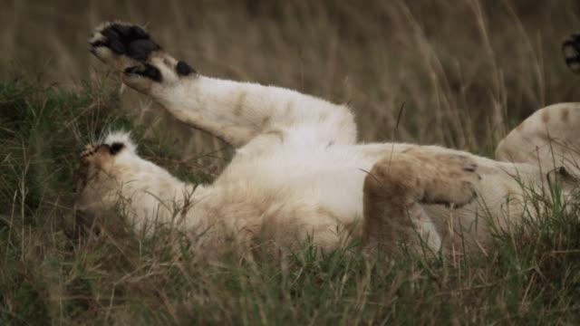vídeos de stock e filmes b-roll de lion (panthera leo) rolls on its back on savannah, kenya - leão