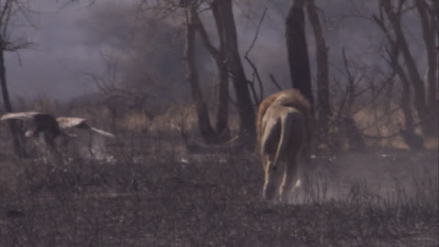 vídeos de stock e filmes b-roll de lion runs across the dusty, burnt plain of the savannah towards lappet faced vulture available in hd. - leão