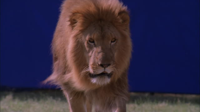 Lion runs past camera with blue screen behind, South Africa Available in HD.