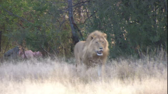 a lion runs through the dry grasses on the savanna to get to a carcass. - dry stock videos and b-roll footage