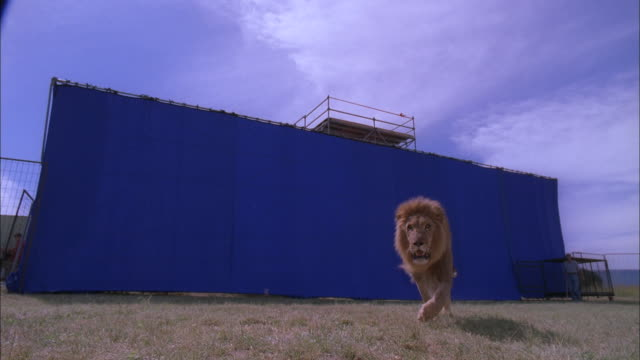 vídeos de stock e filmes b-roll de lion runs towards then jumps over camera with blue screen behind, south africa available in hd. - leão