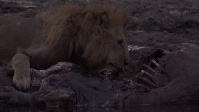 A lion scavenges a hippopotamus carcass at the edge of a pond. Available in HD.