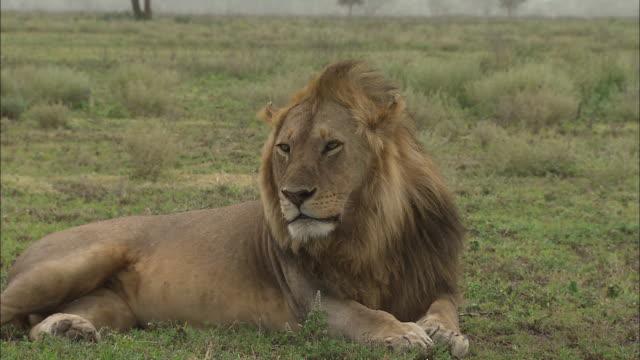 a lion sitting down on the grass at serengeti national park, tanzania - サファリ動物点の映像素材/bロール