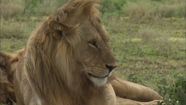 vídeos y material grabado en eventos de stock de a lion sitting down on the grass at serengeti national park, tanzania - boca de animal
