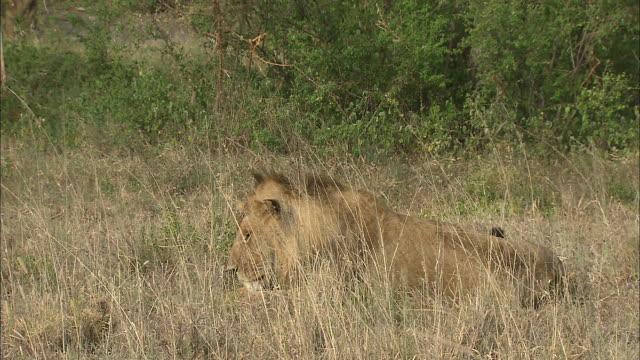 vídeos y material grabado en eventos de stock de a lion sitting in the bushes at serengeti national park, tanzania - oreja animal