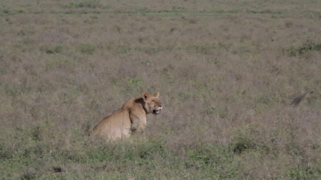lion sitting in veld