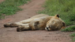 Lion sleeping on the dirt road.