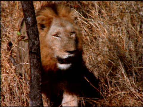 vídeos y material grabado en eventos de stock de lion slowly walks through dry bush land, botswana - bush land