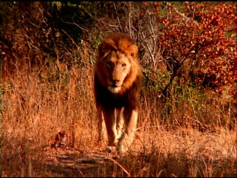 vídeos y material grabado en eventos de stock de lion slowly walks through shady bush land, botswana - bush land