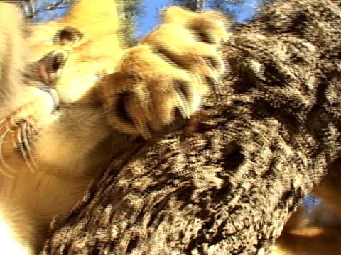 vídeos de stock, filmes e b-roll de leão deliciosos câmera - gato não domesticado