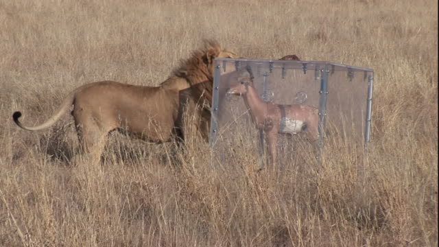 A lion sniffs a polycarbonate predator shield containing a fake deer on a savanna in South Africa.