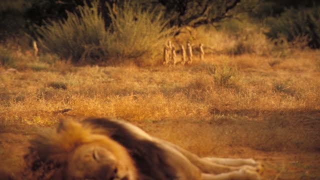 vídeos y material grabado en eventos de stock de a lion snoozes as meerkats watch nearby. available in hd. - desierto del kalahari