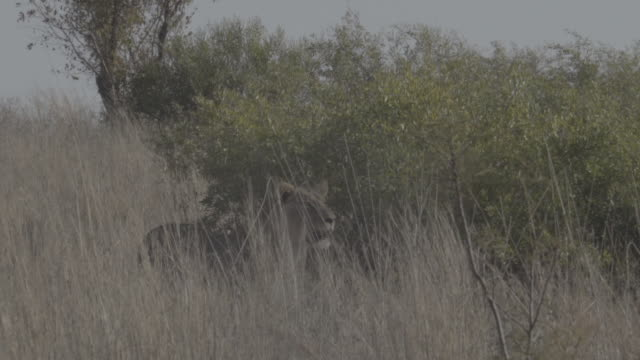 lion / south africa, southern africa, africa - southern africa stock videos & royalty-free footage