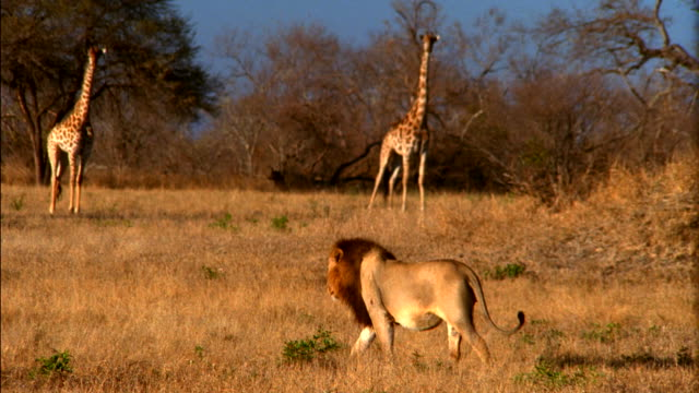 a lion stalks by two giraffes. available in hd. - giraffe stock videos & royalty-free footage