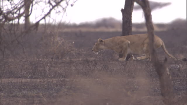A lion stalks over scorched ground in the Serengeti. Available in HD.