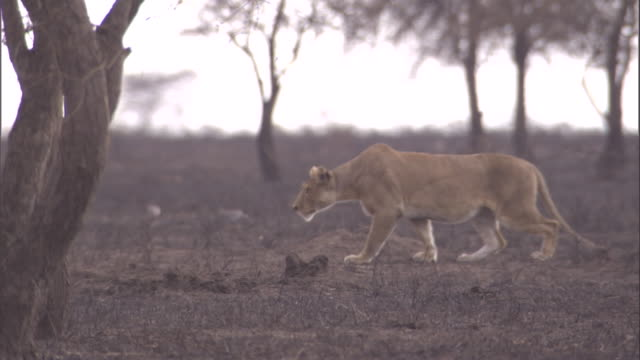A lion stalks over the scorched savanna of the Serengeti. Available in HD.