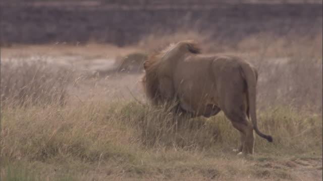 vídeos y material grabado en eventos de stock de a lion stalks through grasses in the serengeti. available in hd. - animales acechando
