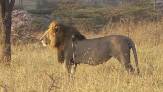 ms lion standing and yawning at sunlight / tanzania  - standing stock videos & royalty-free footage
