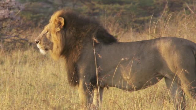 ms lion standing at sunlight / tanzania  - standing stock videos & royalty-free footage