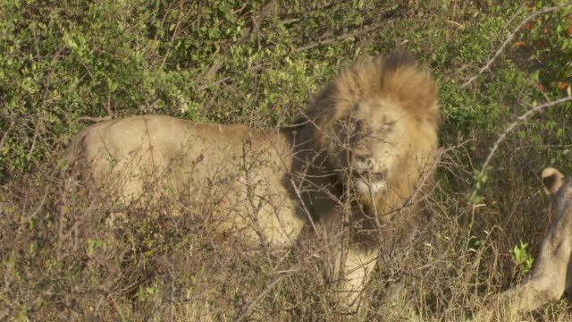ms lion standing in high grass / tanzania  - standing stock videos & royalty-free footage