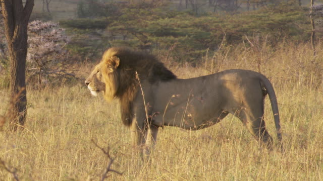 ms lion standing on grass and laying down / tanzania  - standing stock videos & royalty-free footage