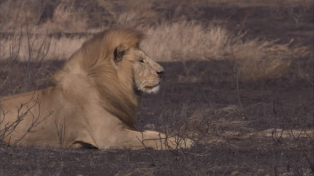 A lion stands up and stalks across the burnt savanna. Available in HD.