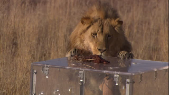 A lion takes bait from the top of a decoy predator shield.
