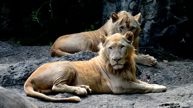 lion the king of jungle animal in wildlife sanctuary - mammal stock videos & royalty-free footage